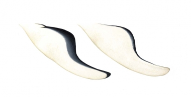 Image of Southern right whale dolphin (Lissodelphis peronii) - Flipper variations