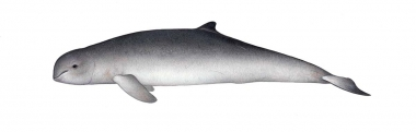 Image of Irrawaddy dolphin (Orcaella brevirostris) - Adult
