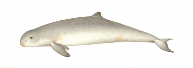 Image of Irrawaddy dolphin (Orcaella brevirostris) - Adult colour variation