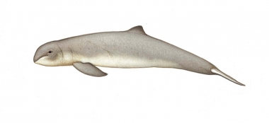 Image of Irrawaddy dolphin (Orcaella brevirostris) - Calf