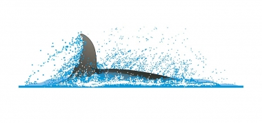 Image of Irrawaddy dolphin (Orcaella brevirostris) - Sometimes flips to one side, showing single fluke