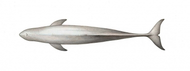 Image of Irrawaddy dolphin (Orcaella brevirostris) - Adult topside