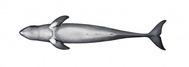 Image of Irrawaddy dolphin (Orcaella brevirostris) - Adult underside