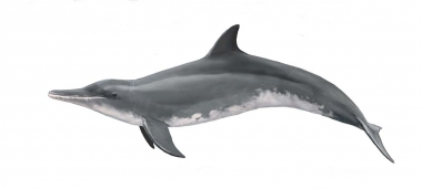 Image of Rough-toothed dolphin (Steno bredanensis) - Adult female