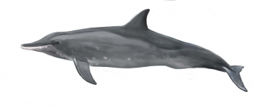 Image of Rough-toothed dolphin (Steno bredanensis) - Adult colour variation