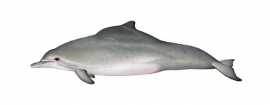Image of Atlantic humpback dolphin (Sousa teuszii) - Adult