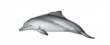 Image of Atlantic humpback dolphin (Sousa teuszii) - Calf