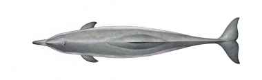 Image of Atlantic humpback dolphin (Sousa teuszii) - Adult topside