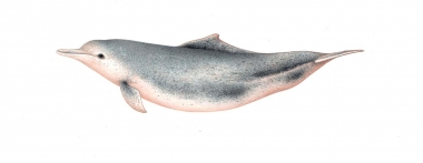 Image of Indo-Pacific humpback dolphin (Sousa chinensis) - Adult Southeast Asia - 'Borneensis'-type