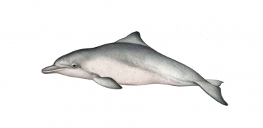Image of Indo-Pacific humpback dolphin (Sousa chinensis) - Calf