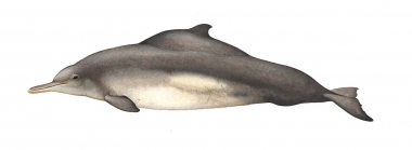 Image of Indian Ocean humpback dolphin (Sousa plumbea) - Adult