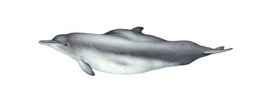 Image of Indian Ocean humpback dolphin (Sousa plumbea) - Adult Bay of Bengal - 'Lentiginosa' form
