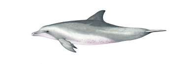 Image of Indo-Pacific bottlenose dolphin (Tursiops aduncus) - Adult