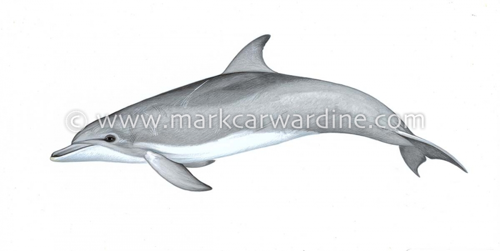Indo-Pacific bottlenose dolphin (Tursiops aduncus)