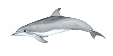 Image of Indo-Pacific bottlenose dolphin (Tursiops aduncus) - Adult variation