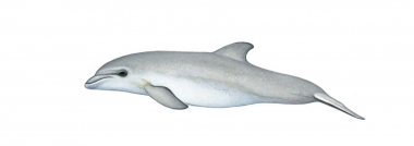 Image of Indo-Pacific bottlenose dolphin (Tursiops aduncus) - Calf