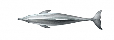 Image of Indo-Pacific bottlenose dolphin (Tursiops aduncus) - Adult topside