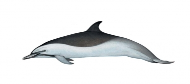 Image of Pantropical spotted dolphin (Stenella attenuata) - Adult offshore