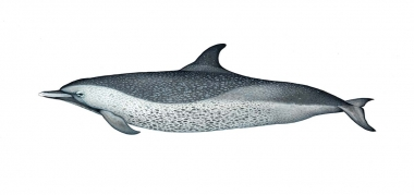 Image of Pantropical spotted dolphin (Stenella attenuata) - 'Fused' coastal adult variation