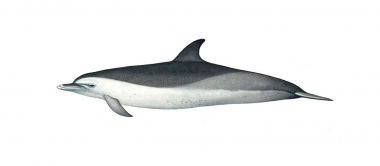 Image of Pantropical spotted dolphin (Stenella attenuata) - 'Speckled' juvenile