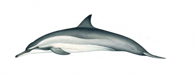 Image of Spinner dolphin (Stenella  longirostris) - Gray's (Hawaiian) adult