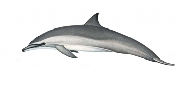 Image of Spinner dolphin (Stenella  longirostris) - Gray's (Hawaiian) calf