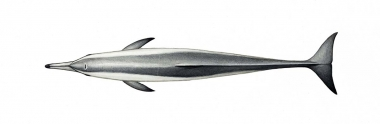 Image of Spinner dolphin (Stenella  longirostris) - Gray's (Hawaiian) adult topside