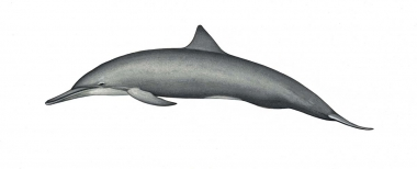 Image of Spinner dolphin (Stenella  longirostris) - Central American adult male