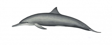 Image of Spinner dolphin (Stenella  longirostris) - Central American adult female