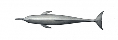 Image of Spinner dolphin (Stenella  longirostris) - Central American adult topside