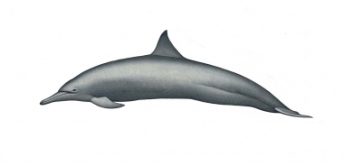 Image of Spinner dolphin (Stenella  longirostris) - Eastern adult female