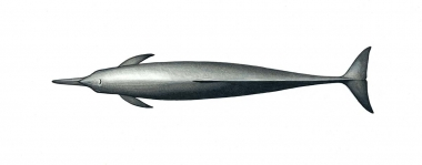 Image of Spinner dolphin (Stenella  longirostris) - Eastern adult topside