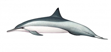 Image of Spinner dolphin (Stenella  longirostris) - Whitebelly adult male