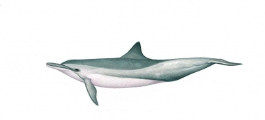 Image of Spinner dolphin (Stenella  longirostris) - Whitebelly calf