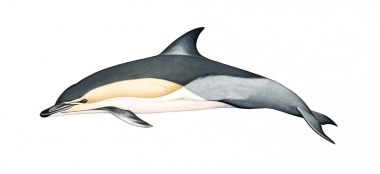 Image of Common dolphin (Delphinus delphis) - Adult 'Delphis' occurring in Atlantic (including Mediterranean) and Pacific