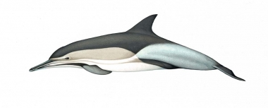 Image of Common dolphin (Delphinus delphis) - Adult 'Tropicalis' occurring in Indian Ocean (including Red Sea, Persian Gulf, Gulf of Thailand) and far western Pacific Ocean