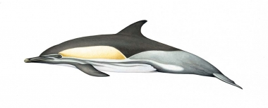 Image of Common dolphin (Delphinus delphis) - Adult 'Bairdii' occurring eastern North Pacific