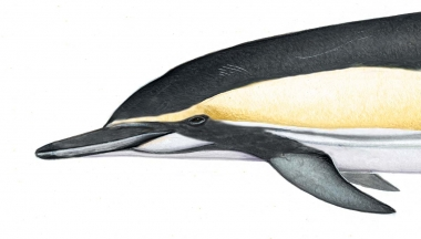 Image of Common dolphin (Delphinus delphis) - Adult 'Bairdii' head variation