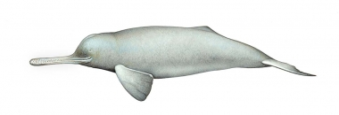 Image of South Asian river dolphin (Platanista gangetica) - Adult male