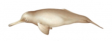 Image of South Asian river dolphin (Platanista gangetica) - Adult female