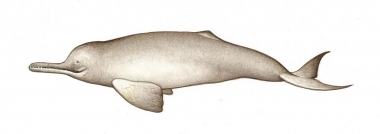 Image of South Asian river dolphin (Platanista gangetica) - Calf