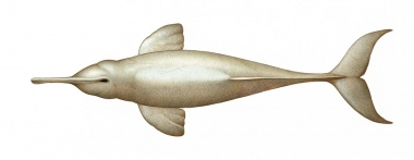 Image of South Asian river dolphin (Platanista gangetica) - Adult topside