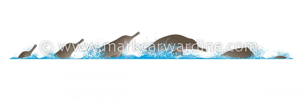 South Asian river dolphin (Platanista gangetica)