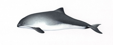 Image of Harbour or harbor porpoise (Phocoena phocoena) - Adult