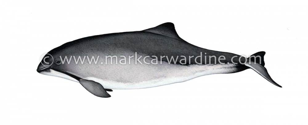 Harbour or harbor porpoise (Phocoena phocoena)
