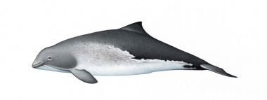 Image of Harbour or harbor porpoise (Phocoena phocoena) - Adult variation