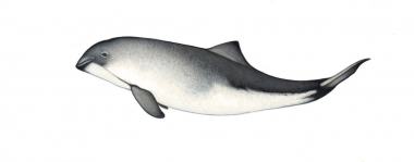 Image of Harbour or harbor porpoise (Phocoena phocoena) - Calf