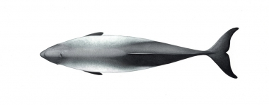 Image of Harbour or harbor porpoise (Phocoena phocoena) - Adult topside