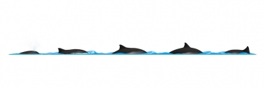 Image of Harbour or harbor porpoise (Phocoena phocoena) - Dive sequence