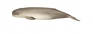 Image of Indo-Pacific finless porpoise (Neophocaena phocaenoides) - Calf
